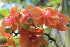 Free Colorful Orchids Hanging From A Tree Royalty Free Stock Photography - 146152387