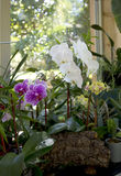 Colorful Orchids on the window of green house Stock Photo