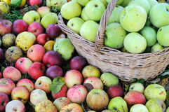 Colorful organic apples Stock Images