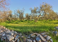 Colorful organic olive farm in Istria, Croatia. Region famous for excellent olive oil royalty free stock images