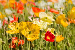 Colorful oriental poppies on meadow Royalty Free Stock Photo