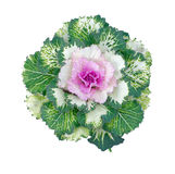 Colorful Ornamental Cabbage. Isolated with clipping path Stock Photography