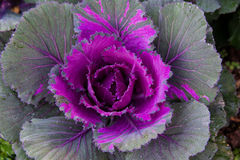 Colorful Ornamental cabbage in the garden Royalty Free Stock Images