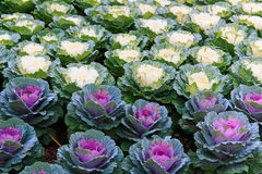 Colorful Ornamental cabbage in the garden Stock Photography