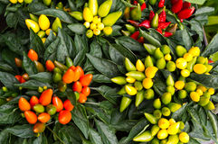 Colorful ornamental decorative peppers Stock Image