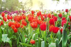 Colorful ornamental flowers multicolored tulip with water drops group natural patterns blooming in garden and sunrise in the stock photography