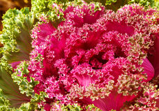 Colorful ornamental Kale or cabbage. Beautiful flowering plant in the flower bed in the decorative garden. The decoration of a country house and urban Stock Photo