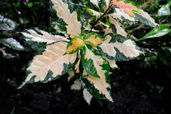 Beautiful ornamental plant. Colorful ornamental plant in the garden Royalty Free Stock Photo