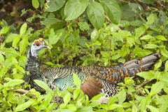 Colorful Oscellated Turkey Seated Amongst Green Weeds Royalty Free Stock Photography