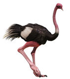 Colorful ostrich Royalty Free Stock Images