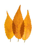 Colorful overlapping autumnal leaves Royalty Free Stock Photos