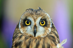 Colorful Owl with large yellow eyes. Young owl staring at the camera with huge yellow eyes Stock Photos