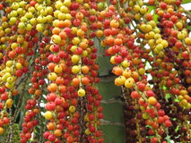 Colorful palm fruits Royalty Free Stock Images