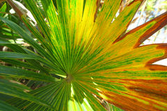 Colorful palm tree leaf. Of yellow, green and brown red colors Stock Image