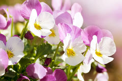 Colorful pansies Stock Images