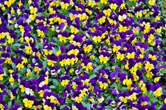 Colorful pansies Stock Photography
