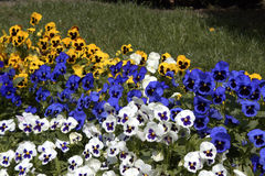 Colorful pansies Royalty Free Stock Photos