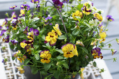 Colorful Pansies in a Black Metal Bucket on a white table.  Royalty Free Stock Photo