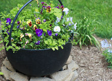 Colorful Pansies in a Bucket. Colorful Pansies in a Black Metal Bucket Stock Images