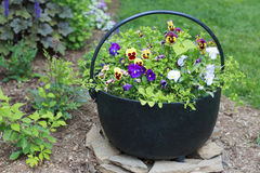Colorful Pansies in a Bucket. Colorful Pansies in a Black Metal Bucket Royalty Free Stock Photography