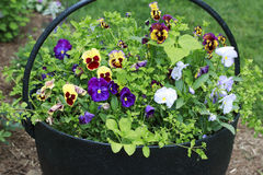 Colorful Pansies in a Bucket. Colorful Pansies in a Black Metal Bucket Royalty Free Stock Images
