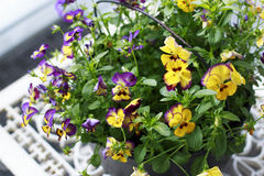 Colorful Pansies in a Bucket. On a white metal table Royalty Free Stock Photos