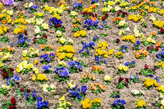 Colorful pansies in the flower bed Stock Image