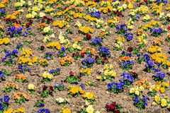Colorful pansies in the flower bed royalty free stock photos