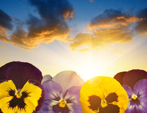 Colorful pansies flower Stock Images