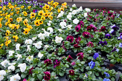 Selection of pansies for sale Stock Image