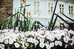 Colorful pansies and old house in Gyor city Royalty Free Stock Image