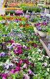 Colorful pansies and other flowers for sale outside store in springtime - selective focus. Colorful pansies and other flowers for sale outside of store in Royalty Free Stock Photo