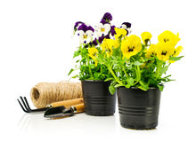 Colorful pansies  in pots with garden tools Stock Image