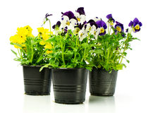 Colorful pansies in pots Stock Photos
