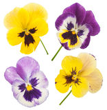 Colorful pansies Stock Photo