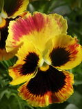 Colorful  pansy flower Royalty Free Stock Photography