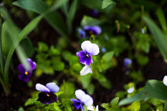 Colorful pansy flower known as Viola tricolor var. hortensis blooms in a botanical garden on a green background Royalty Free Stock Photos