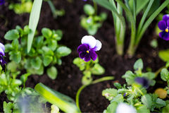 Colorful pansy flower known as Viola tricolor var. hortensis blooms in a botanical garden on a green background Royalty Free Stock Images