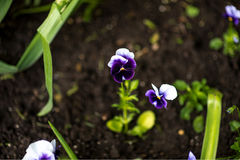 Colorful pansy flower known as Viola tricolor var. hortensis blooms in a botanical garden on a green background Stock Image
