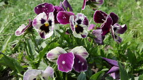 Colorful pansy flower. Viola tricolor. stock footage