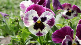 Colorful pansy flower. Viola tricolor. stock video footage