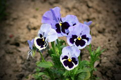Colorful pansy flowers Royalty Free Stock Photos