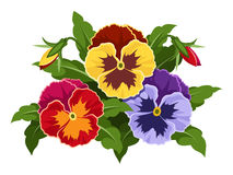Colorful pansy flowers. Stock Image