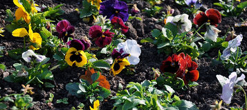 Colorful pansy Stock Image