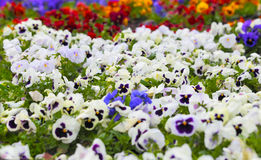 Colorful Pansy Flowers on Flower Bed Stock Image