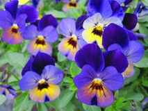 Colorful  pansy flowers pattern Royalty Free Stock Photo