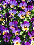 Colorful  pansy flowers pattern Royalty Free Stock Image