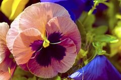 Colorful pansy flowers in the spring sunlight stock photography