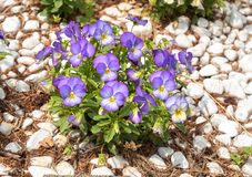 Colorful Pansy Flowers, summer flowering. Floral background royalty free stock images