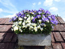 Colorful pansy flowers Royalty Free Stock Image